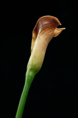 Natural Touch Calla Lily Flowers Brown Sugar