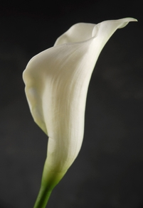 Natural Touch Cream White Calla Lily Bud