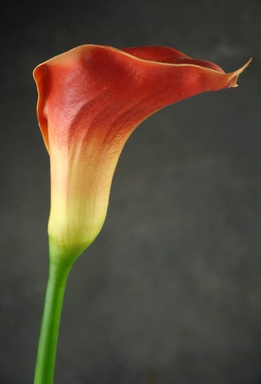 "Natural Touch Flowers Extra Large 33"" Orange Calla Lily Flower"