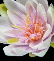 Natural Touch Flowers Lavender Pink Lotus Water Lily