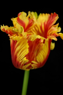Natural Touch Flowers Yellow & Red Parrot Tulips
