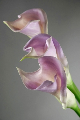 Natural Touch Lilac Calla Lilies Flowers