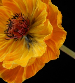 Natural Touch Mango Orange Poppy Flowers