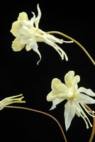 Natural Touch White Columbine Flowers
