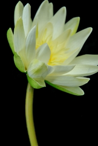 Natural Touch White Lotus Water Lily Flowers