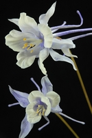 "Natural Touch Wildflowers Periwinkle Columbine (35"" )"