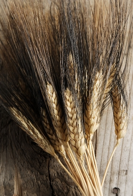 Natural Wheat Stalks Black Beard Wheat