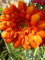 Orange Gerbera Daisies (12 flowers)