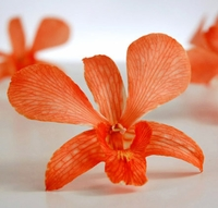Orchid Flowers Orange Preserved (30 flowers)