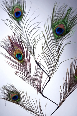 "Peacock Feathers 32"" 5 Peacock Feather Eyes"