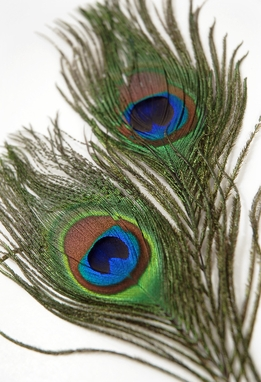 "Peacock Feathers Eye Feathers 6""-8"" (pkg of 2)"