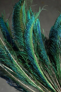 Peacock Sword Feathers 12-14in (Pack of 100)