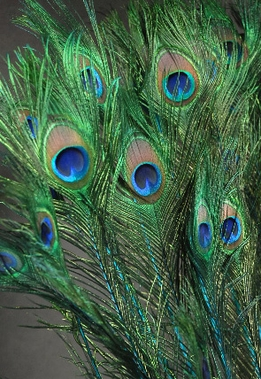 Peacock Feathers Very Tall 35-40 in. Turquoise Dyed Stem 100 feathers