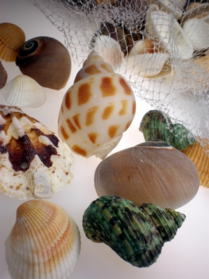 Polished Seashells