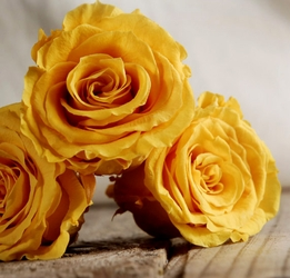"Preserved Akari Queen Mimosa Yellow Roses (6-2.5"" rose heads) Flowers"