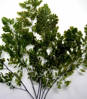 "Preserved Ferns Luthi Adianthum 10"" (5-6 stems)"