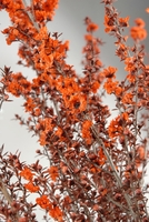 "Preserved Flowering 27"" Lepto Orange Bundle"