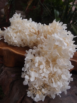 Preserved Hydrangeas Ivory | 2 flowers