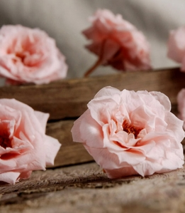 Preserved French Noisettes RosesNatural Bridal Pink (12 rose heads) Flowers
