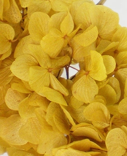 Preserved Hydrangeas Mango Yellow (3 flowers)