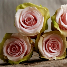 Preserved Natural Bi-color Pink & Lime Green Roses (9 rose heads) Flowers