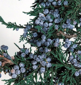 "Preserved Natural Fragrant Juniper Branch with Juniper Berries 20"" tall"