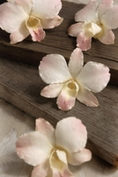 Preserved Orchids White Blush (Box of 30)