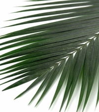 "Preserved Palm Leaves Natural 32"" Green"