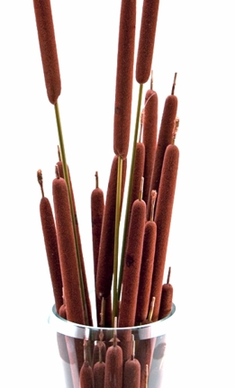 Preserved Pencil Cattails