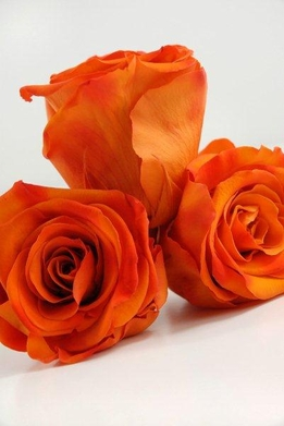 Preserved Rose Heads Sunset Orange Roses (6 roses)