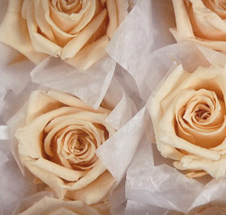 "Preserved Roses 1"" Light Peach (12 roses)"