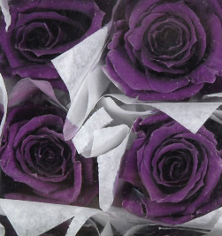"Preserved Roses 1"" Rose Heads Purple (12 roses)"