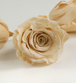 "Preserved Roses 2.5"" Champagne (6 rose heads)"