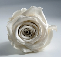 Preserved Roses Fancy White 2.5in (6 rose heads)