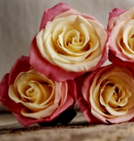 Preserved Roses Natural Bi-color Yellow & Pink (9 roseheads)