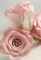Preserved Roses Natural Pink 2.5in (6 rose heads)