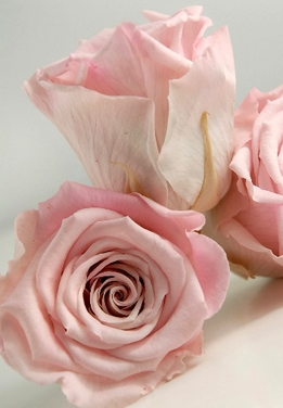 "Preserved Roses Natural Pink 2.5"" Rose Heads (6 roses)"