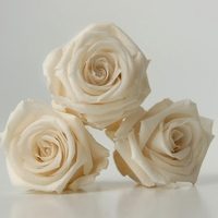 Preserved Roses Porcelain White |  12 heads
