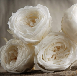 Preserved Soft White French Roses (8 rose heads)