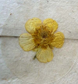 Pressed Flower Envelope Seals Yellow Buttercup Flowers 12 stickers /pkg)