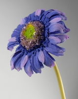 "Purple Gerbera Daisies (24 flowers) 9"" tall"