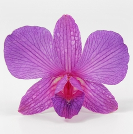 Purple & Pink Orchids Preserved Whole Flowers (30 flowers)
