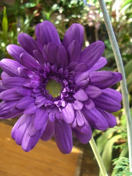 Purple Silk Gerbera Daisies (12 flowers)