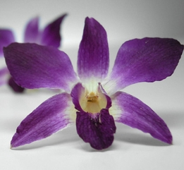 Purple and White Preserved Orchids (30 flowers)