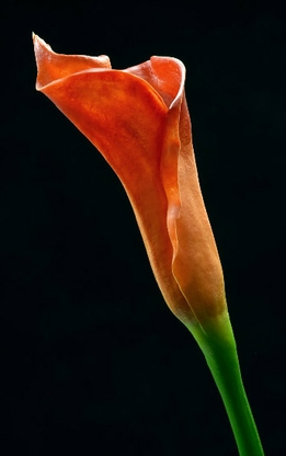 Real Touch Calla Lily Rust Orange Buds