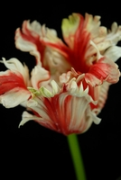 Real Touch Flowers Tulips Red & Cream Parrot Tulip