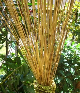 "Reed Stalks Reeds 30"" tall (89-92 reeds/ bundle )"