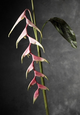 "Sexy Pink Heliconia 60"" Natural Touch"