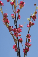 Silk Cherry Blossom Branches Dark Pink 42""