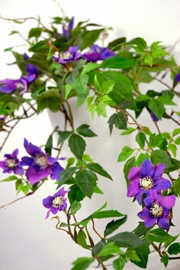 Silk Clematis Flowers Vines Garlands Lavender Purple